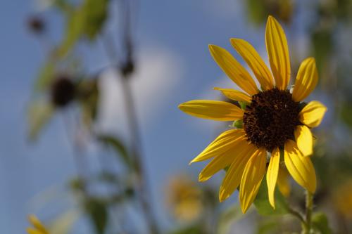 Sunflower_1557