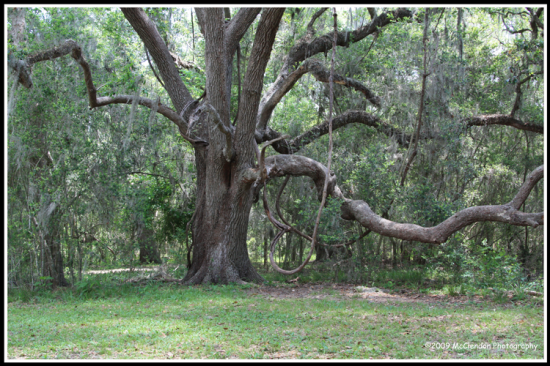 Brazos_Bend_Big_Tree_Original_copy_web