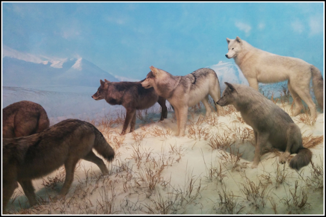 wolves-1308947_cropped_web