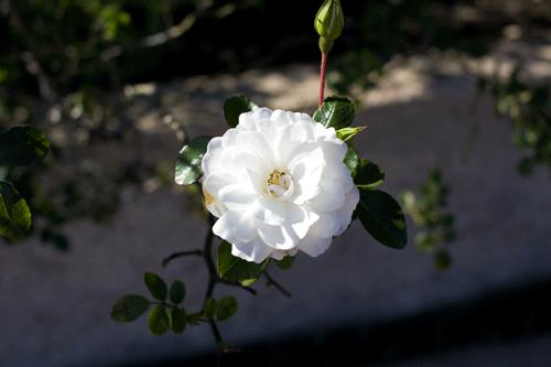 White_Rose_3308