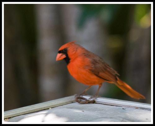 Cardinal_4094_crop_frame_500