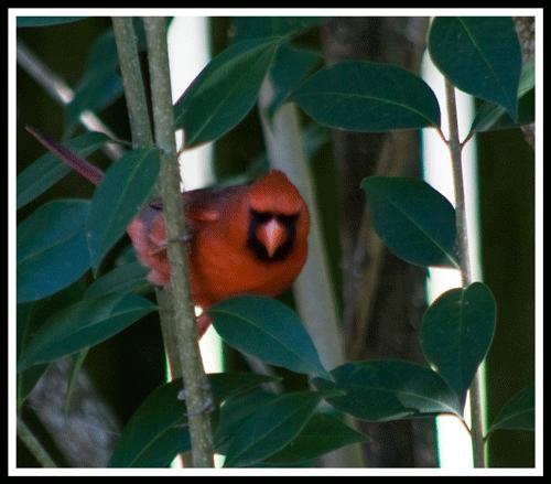 Cardinal_4095_crop_frame_500