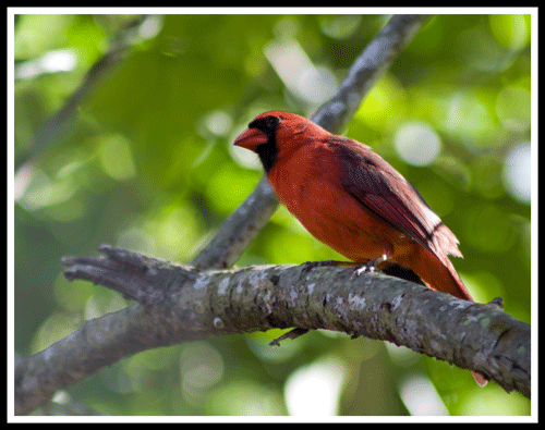 Cardinal_4123_crop_frame_500
