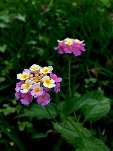 Lantana_1358_500