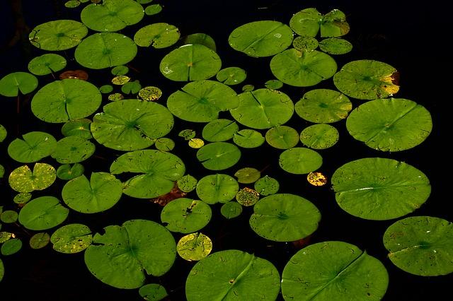 lotus-238452_640