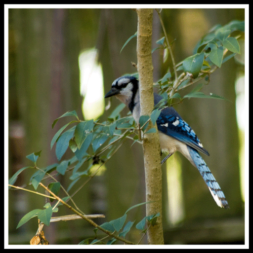 Bluejay_4415_5-May-2017_crop_frame_500