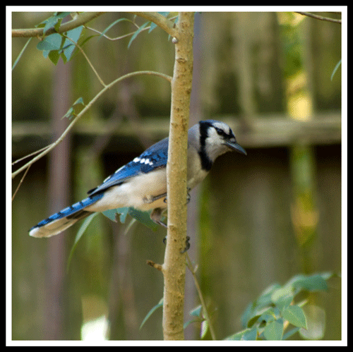 Bluejay_4419_5-May-2017_crop_frame_500