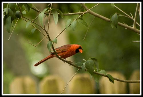 Cardinal_5409_9-May-2017_frame_500