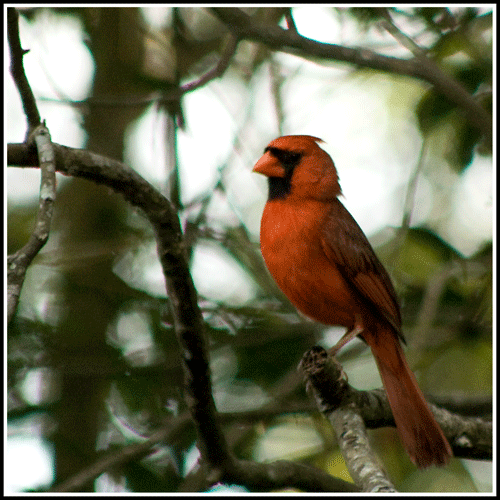 Cardinal_6829_14-May-2017_crop_frame_500