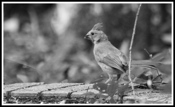 Cardinal_Juvenile_2186_29May2017_cropframe_BW_600