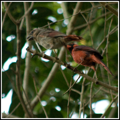 Cardinals_Father-Son_6730_14-May-2017_crop_frame_500