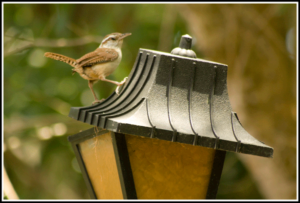 Carolina_Wren_4984_7-May-2017_frame_600
