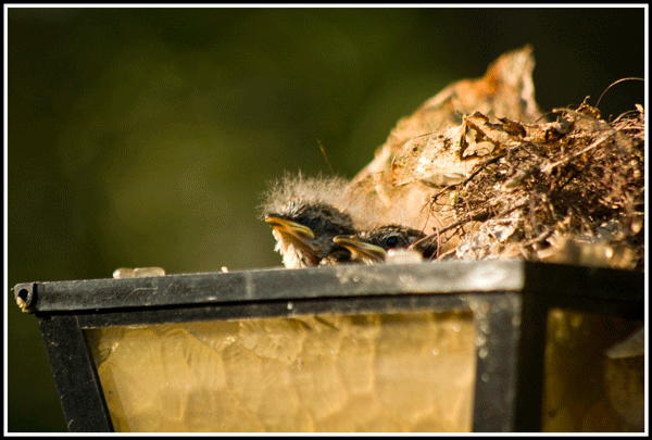 Carolina_Wren_Babies_0173_25May2017_frame_600