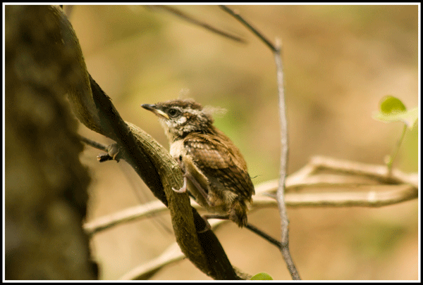 Carolina_Wren_Baby_1221_27May2017_frame_600