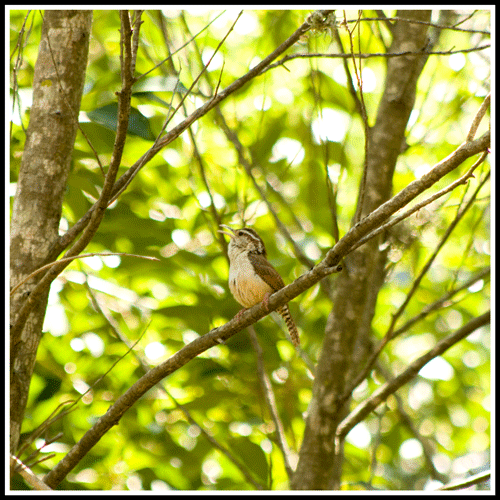 Carolina_Wren_Male_9869_24May2017_crop_frame_500