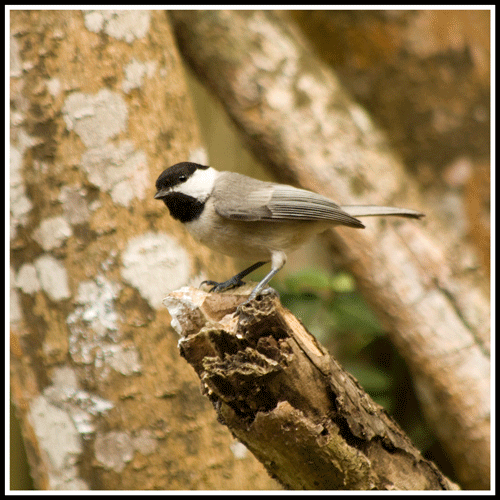 Chickadee_7523_crop_frame_500