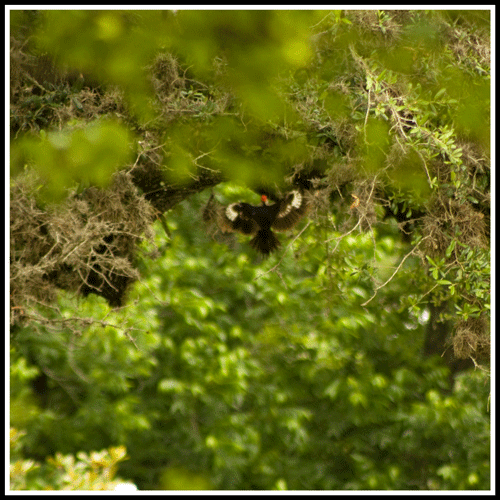 Pileated_Woodpecker_9140_22-May-2017_crop_frame_500