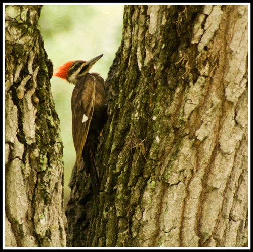 Pileated_Woodprecker_9135_22-May-2017_crop_frame_500