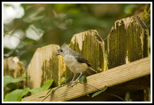 Tufted_Titmouse_5485_9-May-2017_frame_500