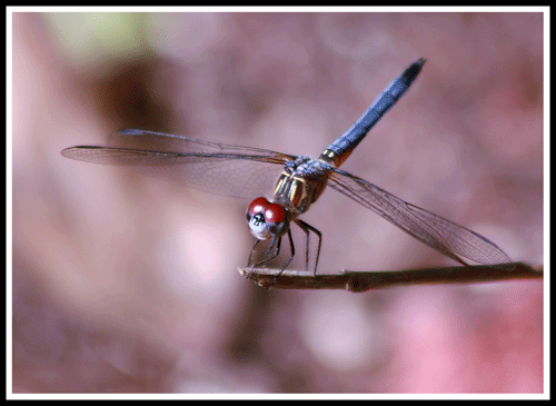 Dragonfly_14-June-2017_500