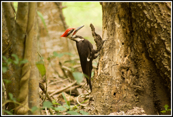 Pileated_Woodpecker_3210_2June2017_600
