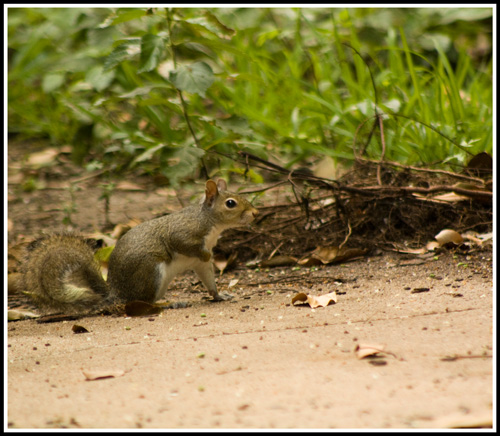 Squirrel_8179_21June2017_crop_frame_500