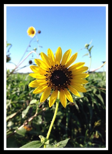Sunflower_25-June-2015_frame_500