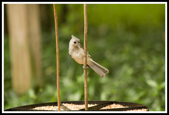 Tufted_Titmouse_2725_31May2017_frame_550