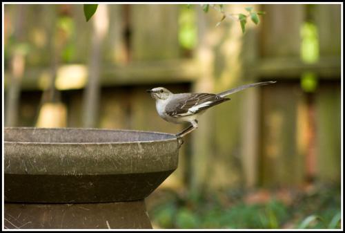 Mockingbird_1763_web