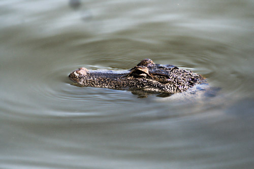 alligator-1734667_web