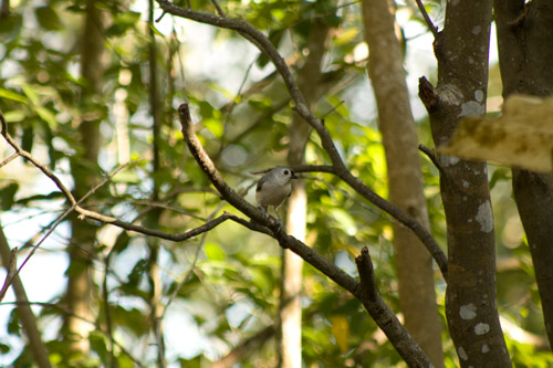 TuftedTitmouse_21March2018_3440_web
