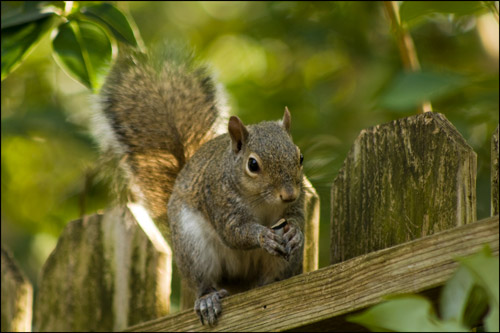 Squirrel_3689_copy_web