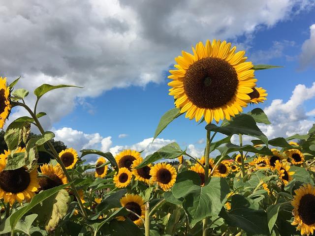sunflower-961739_640
