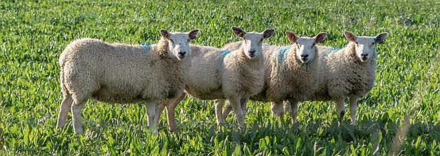 sheep-3897494_640