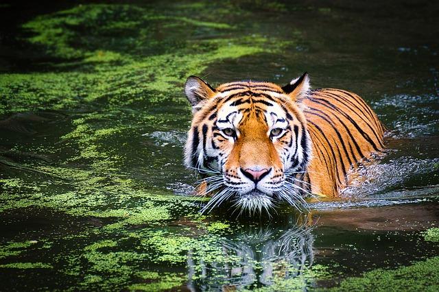 tiger-2535888_640
